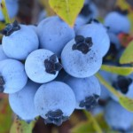 2 cups of wild blueberries a day may help keep the doctor at bay
