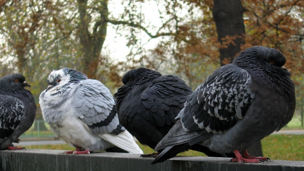 Homing pigeons use smell to navigate