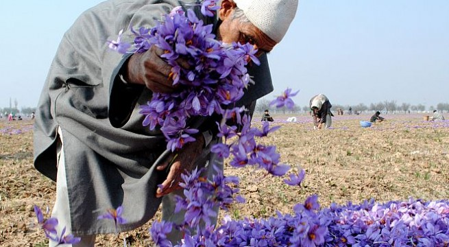 Riot of colour, fragrance in Kashmir's saffron fields