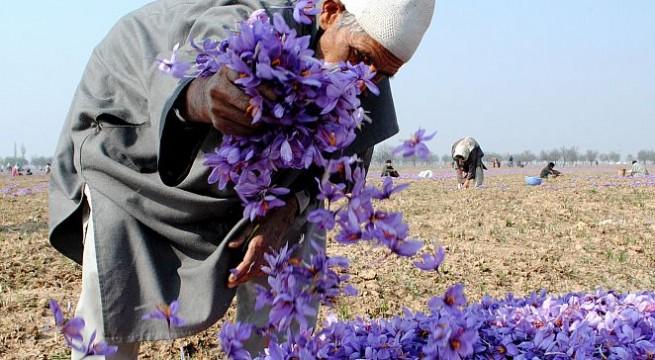 Riot of colour, fragrance in Kashmir's saffron fields