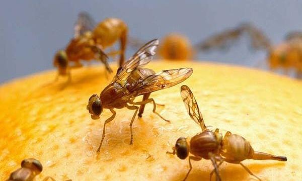 Fruit flies may harbour dementia cure