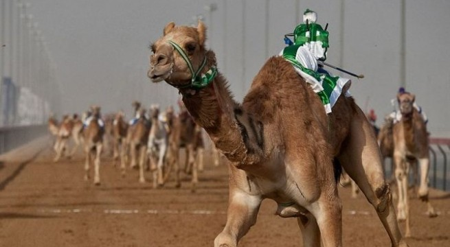 Camels vying for Beauty Crown in UAE contest