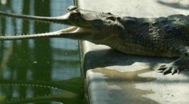 Crocs cleverer than previously thought
