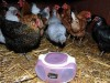 Hens lay more eggs when listening to `soothing classical music`