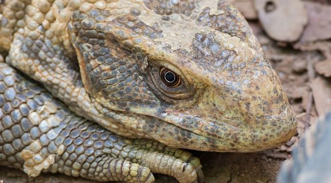 Monitor lizard breathes in mysterious way like birds, alligators and dinos