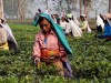 Tea growers in Assam face threats from militant outfits