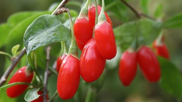 Wolfberries help protect against flu virus