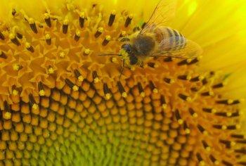 Decoded: How honeybees determine sex