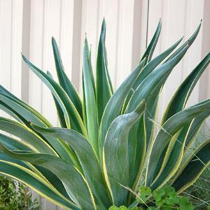 tequila_plant