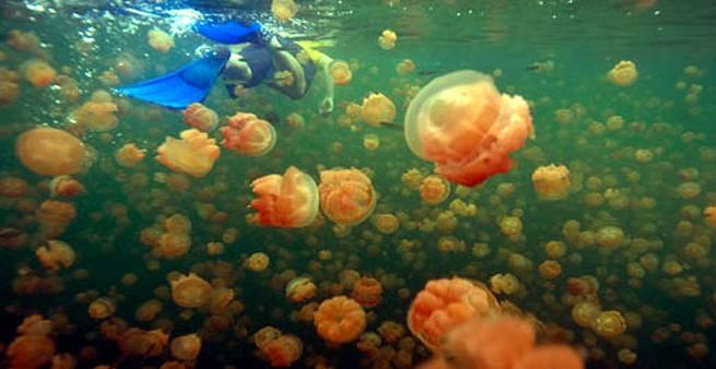 india jellyfish