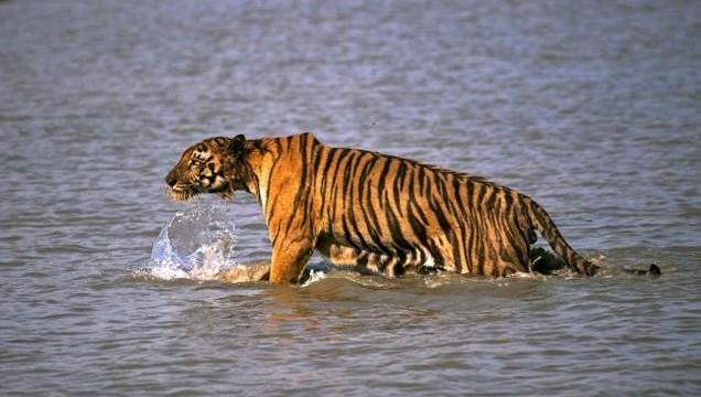 tiger-1_ap_2287153f