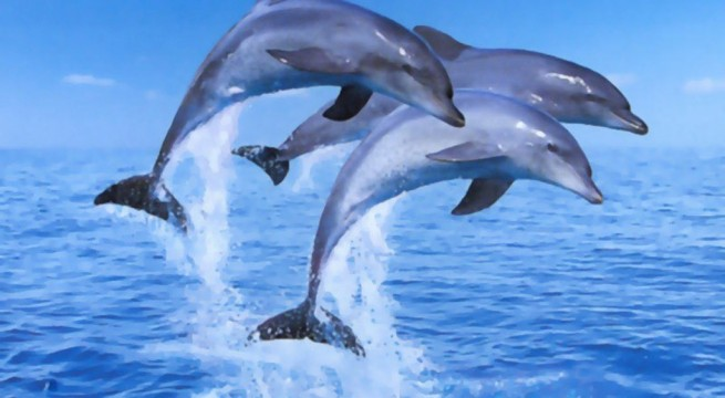 Dolphin-jumping-HD-Wallpaper
